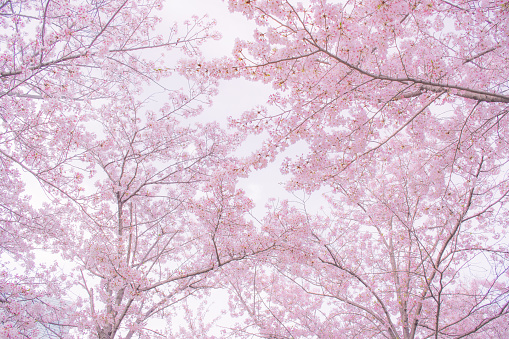 Several cherry blossoms during spring time in Osaka.