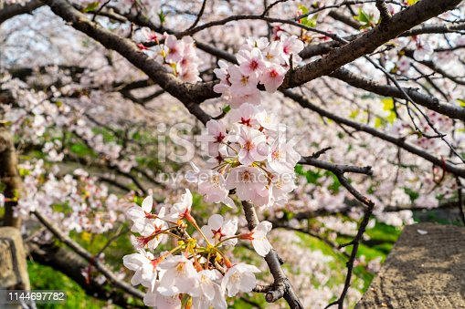 Sakura vs Mustard Saitama Japan ,Gogendo