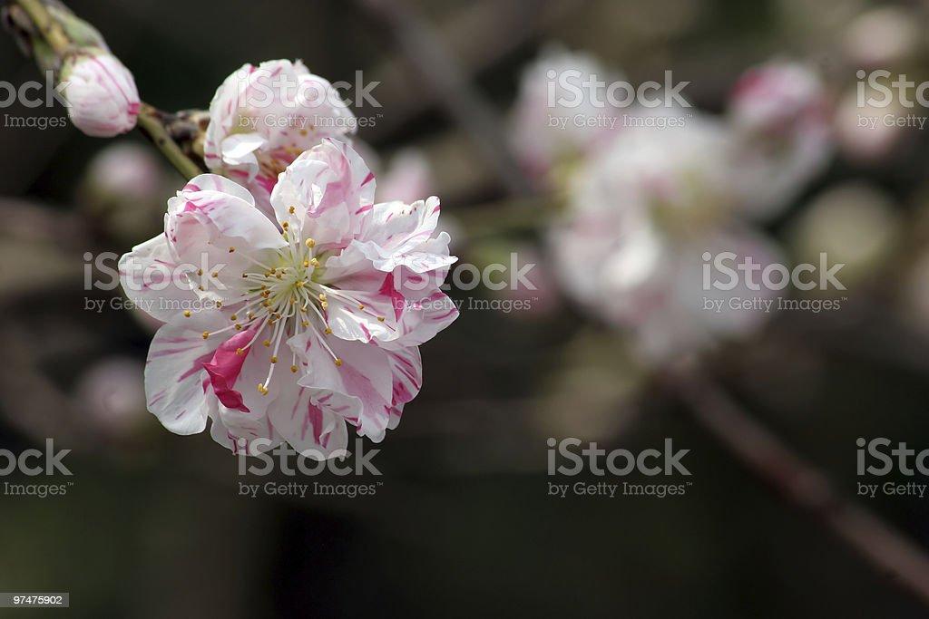 Sakura with red streaks royalty-free stock photo