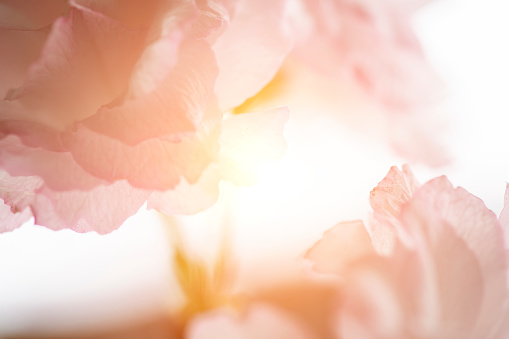 Close up cherry blossom for nature background