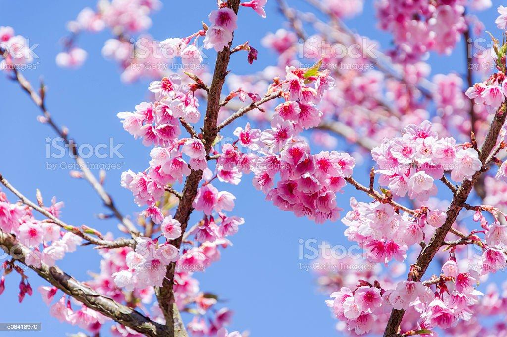 Sakura with sweet background in winter at doi ang khang stock photo sakura with sweet background in winter at doi ang khang royalty free stock photo voltagebd Choice Image