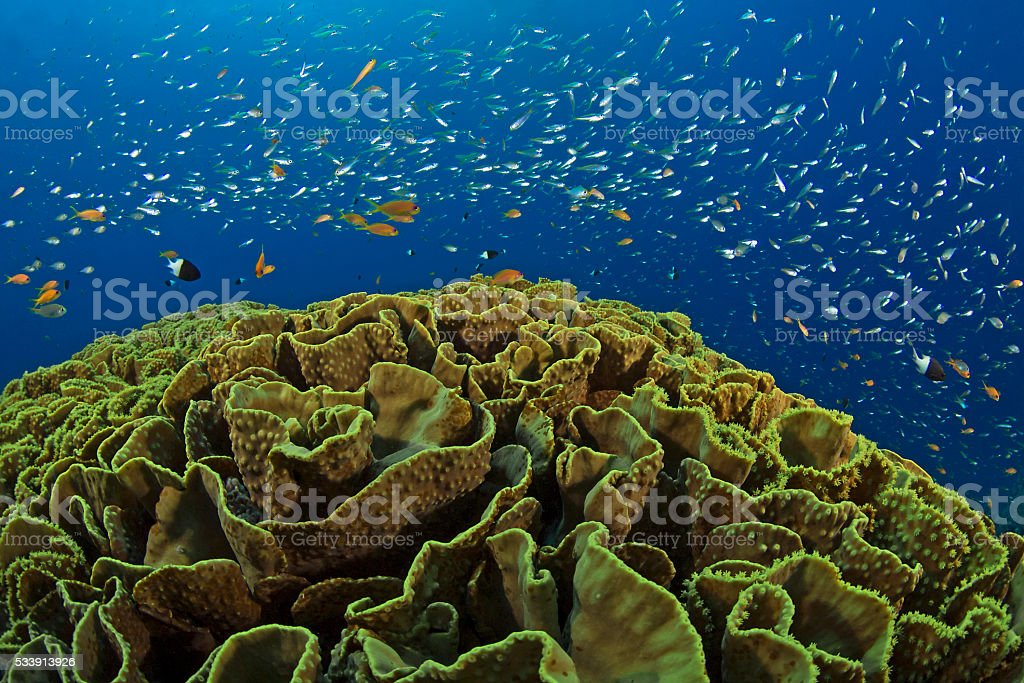 Salad coral and red sea fishes, Salatkoralle und Rotmeer Fische stock photo