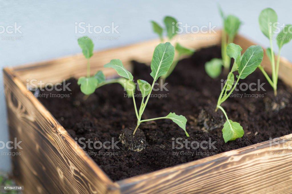 Salat-Anbau im Stadtgarten – Foto