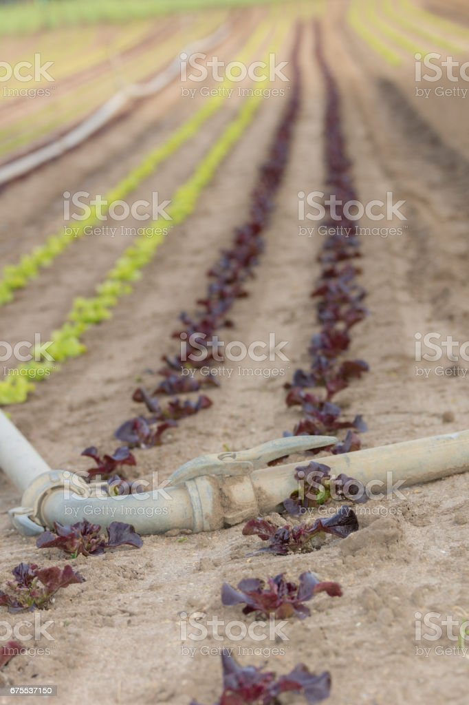 Salad field royalty-free stock photo