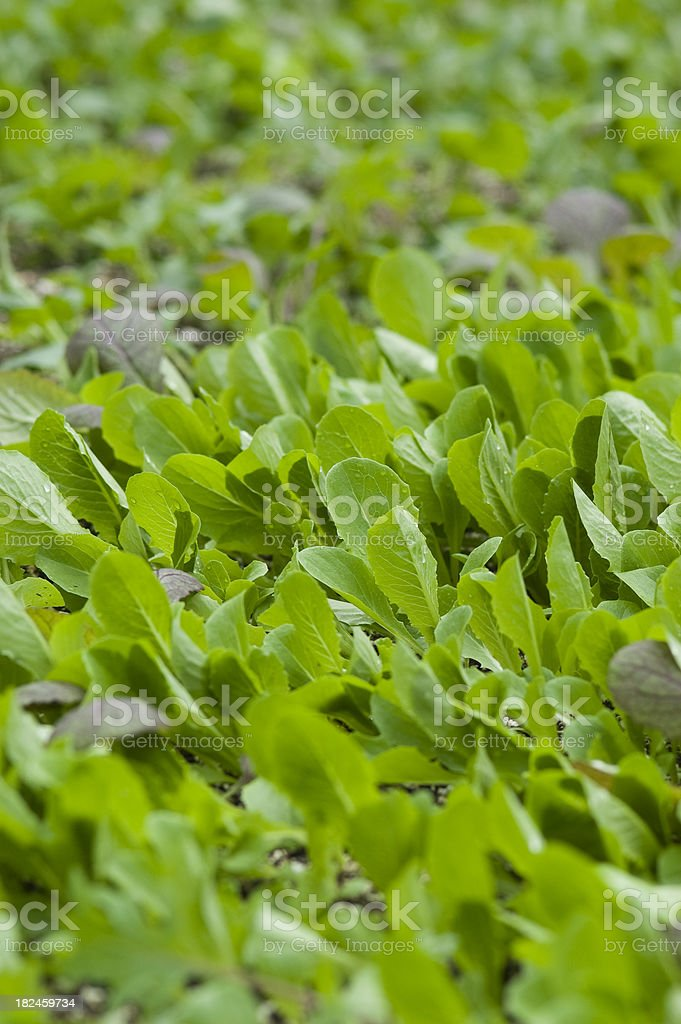Salad Greens and Spinach Beds royalty-free stock photo