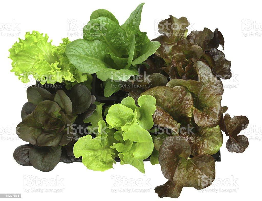 Salad Greens. stock photo