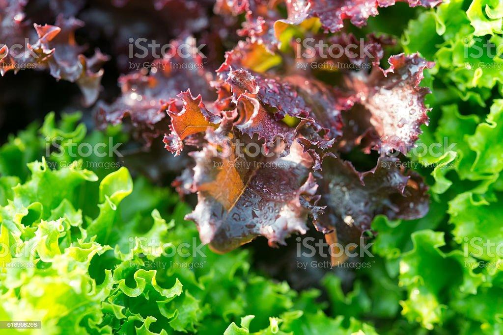 Salad leaf. Lettuce salad plant, hydroponic vegetable leaves stock photo