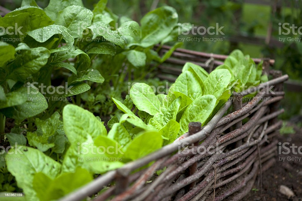 Salad Leaves Growing in Vegetable Garden royalty-free stock photo
