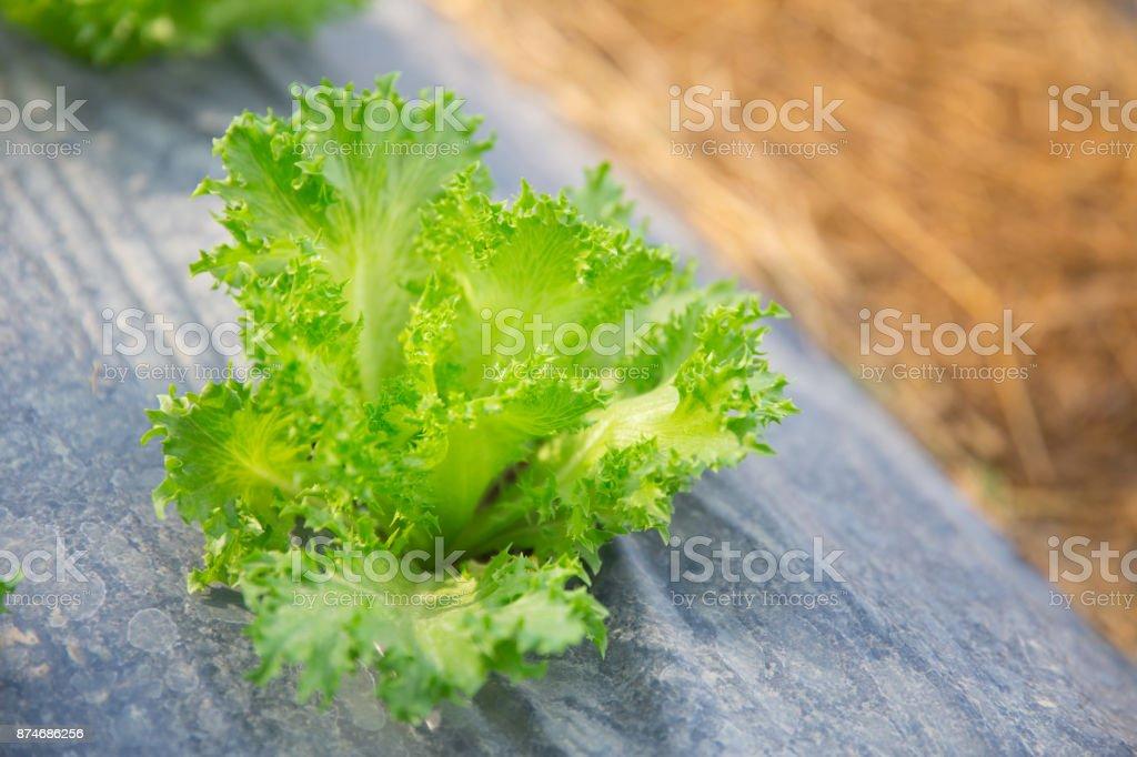 Salad Lettuce Plant agriculture farm field stock photo
