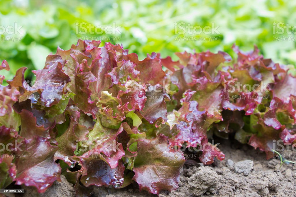 Salad Lollo Rosso on  beds.Growing herbs.Agriculture consept stock photo