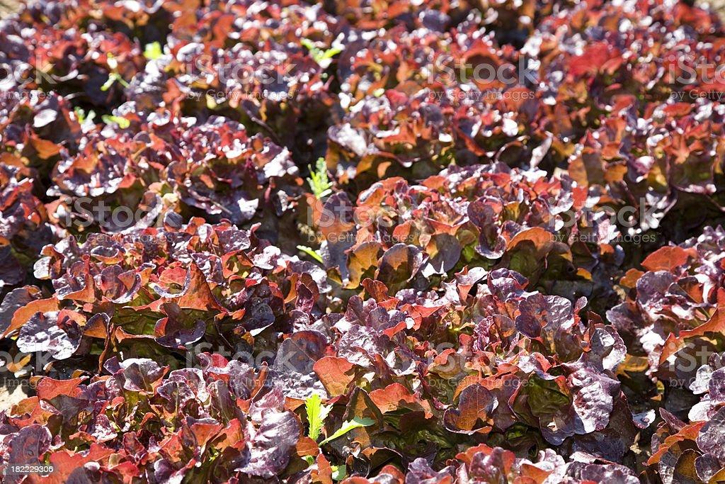 Salad on the Field stock photo