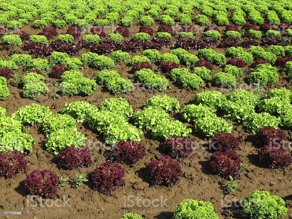 Salad Patch stock photo