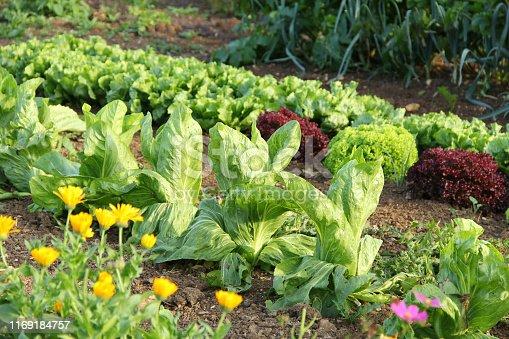 Verschiedene Salatpflanzen im Garten