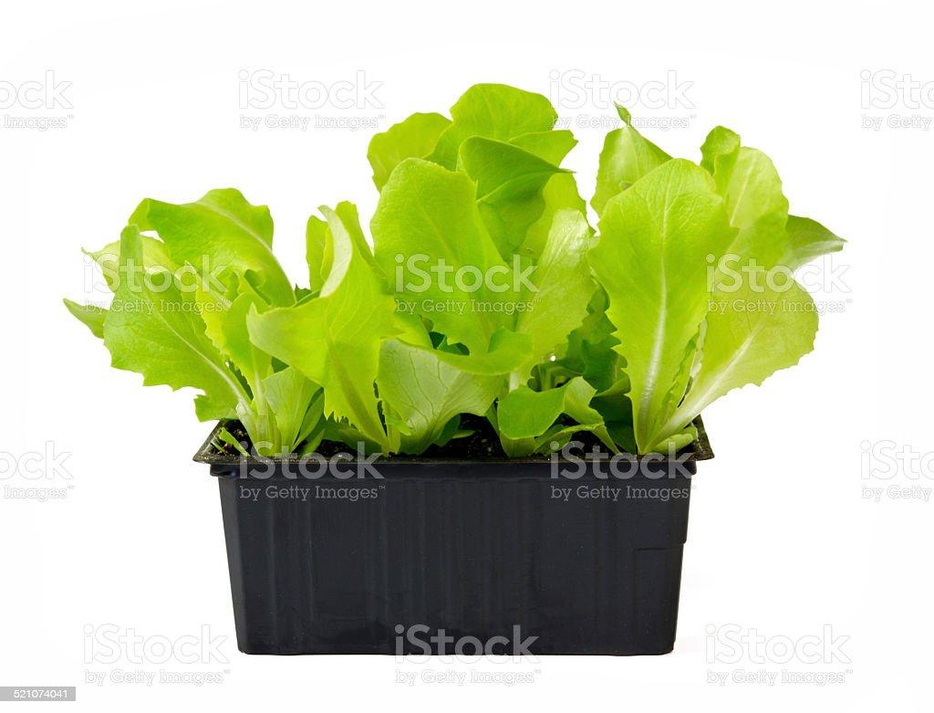 Salad Plants stock photo