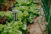 salads field in garden