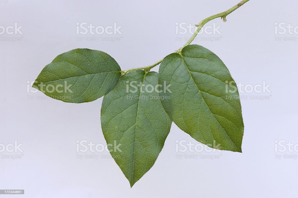 Salal leaves isolated royalty-free stock photo