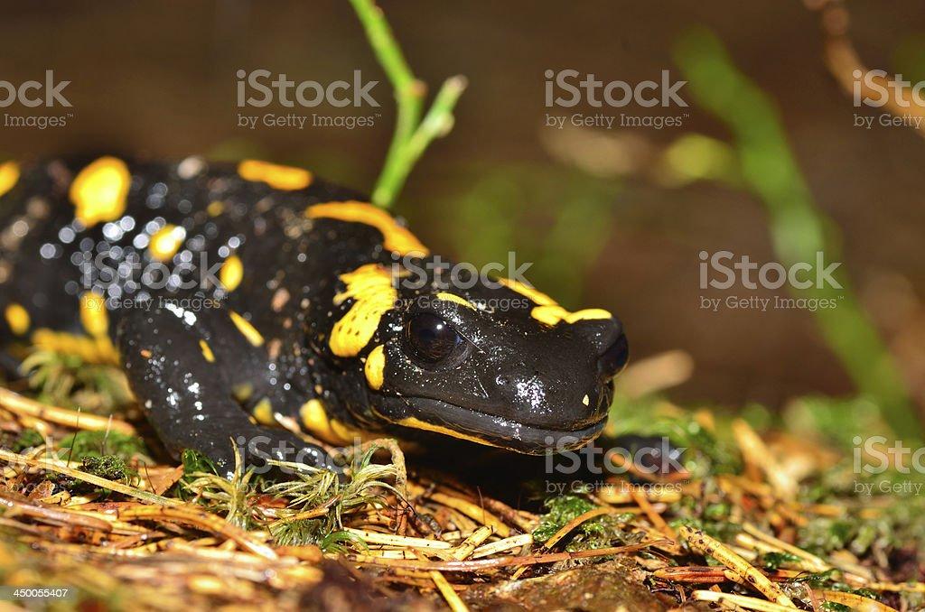 salamanda fire on forest floor royalty-free stock photo