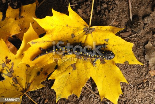 A Salamander is crawling across a bright yellow leaf in fall colors. The salamander has matching yellow spots.