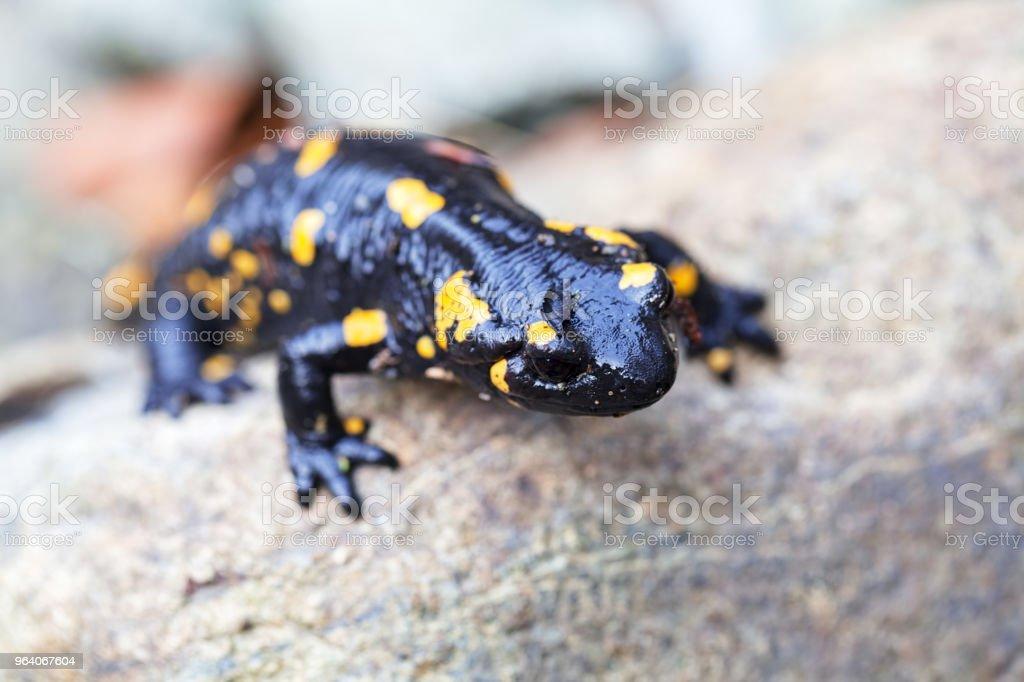 salamander on the stone - Royalty-free Animal Stock Photo