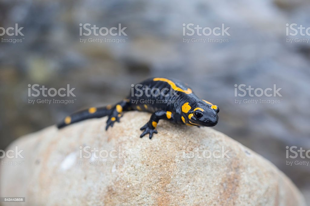 Fotografía de Salamandra Gigante y más banco de imágenes de ...