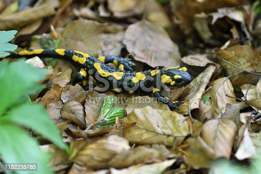 detail of head salamandra lizard on foliage in wood