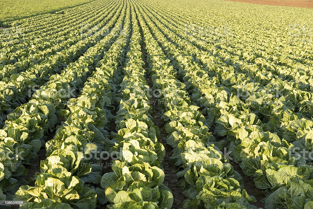 salat stock photo