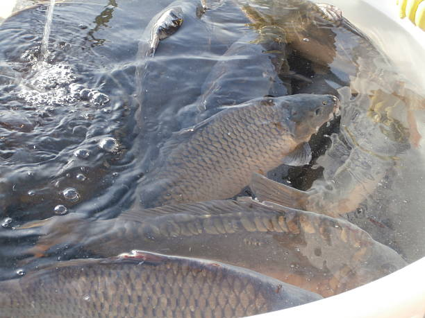 Sale of Christmas carps (tradition in Czech Republic) stock photo