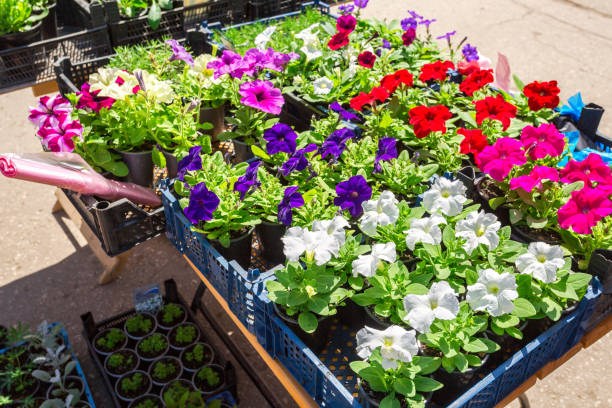Sale of seedlings of decorative flowers on the street Sale of seedlings of decorative flowers on the street perennial stock pictures, royalty-free photos & images