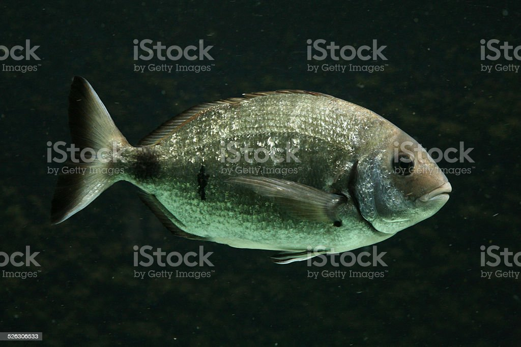 Salema porgy fish stock photo