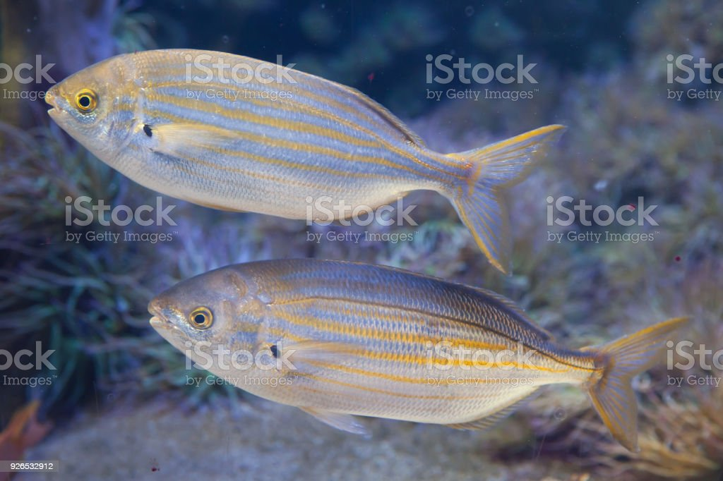 Salema porgy fish (Sarpa salpa) stock photo
