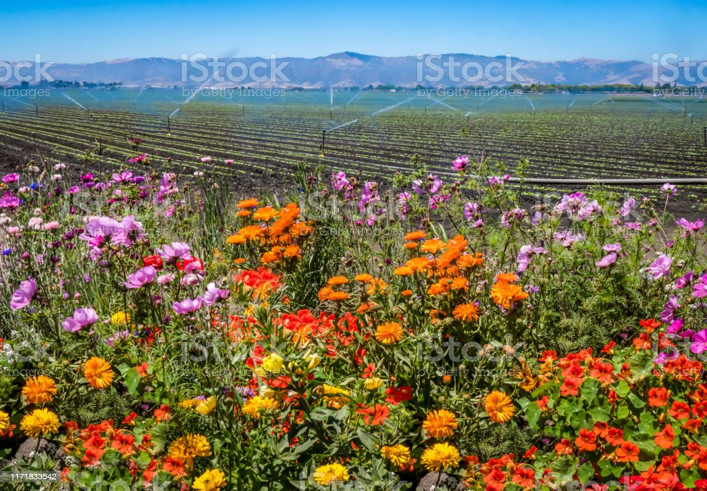 Salinas Valley, California Colorful flowers are planted near a field of agricultural crops, as a field irrigation sprinkler system waters farmland in the Salinas Valley of central California, in Monterey County. Agriculture Stock Photo