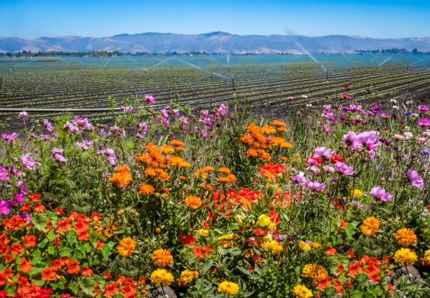 Salinas Valley Flowers and Crops stock photo