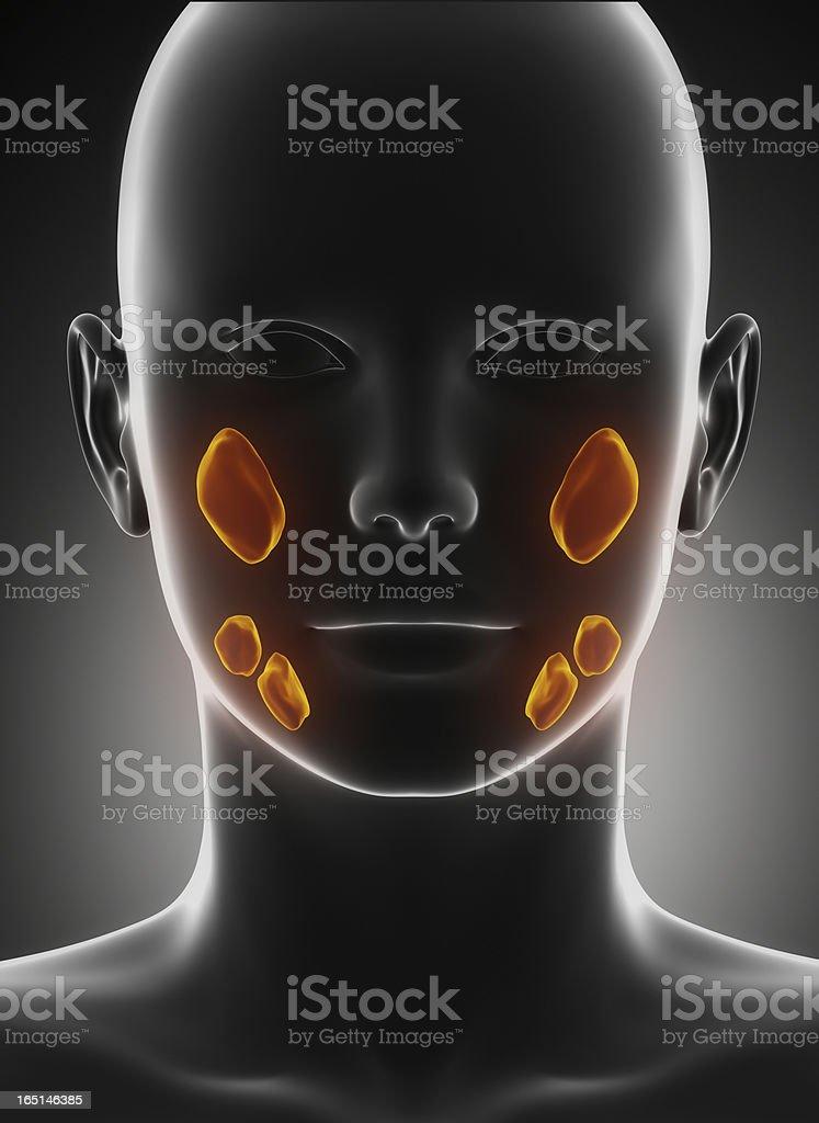 Salivary glands royalty-free stock photo