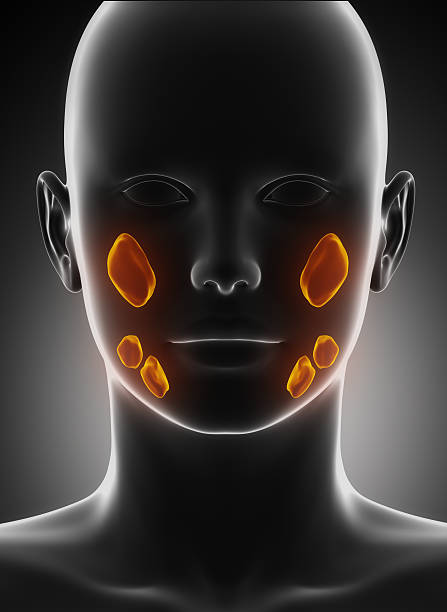 Salivary glands Salivary glands in 3D janulla stock pictures, royalty-free photos & images