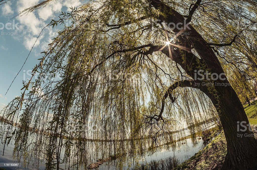 Salix babylonica royalty-free stock photo
