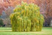 Salix babylonica の木は秋の風景