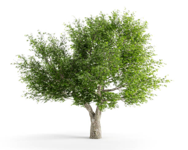 Salix fragilis stock photo