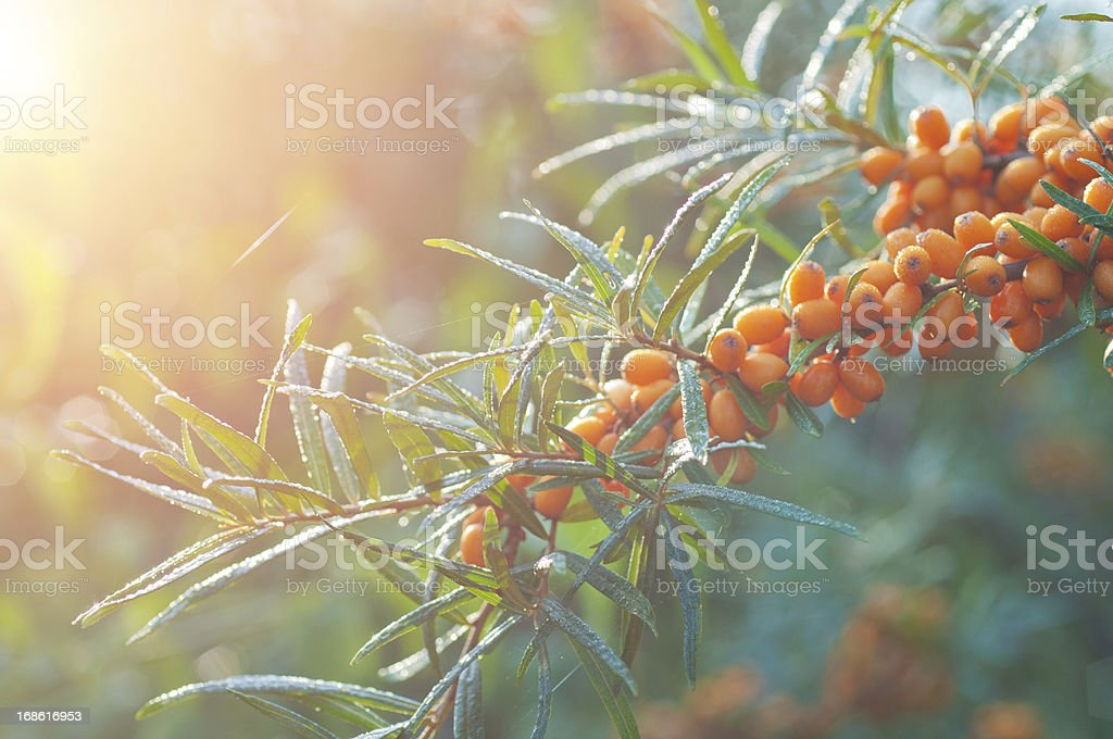 sallow thorn with morning dew stock photo