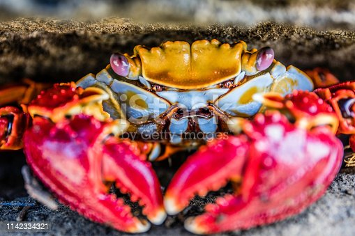 Sally Crab Close-up