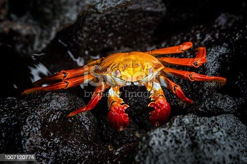 Sally Lightfoot crab (Grapsus grapsus, also red rock crab) at the volcanic coastline of Fernandina Island, Western Galapagos, Ecuador. Wildlife shot.