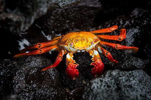 Rock crabs, abundant in the Galapagos Islands