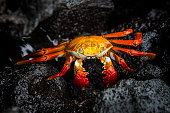Sally Lightfoot crab (Grapsus grapsus, also red rock crab) at the volcanic coastline of Fernandina Island, Western Galapagos, Ecuador. Wildlife shot.