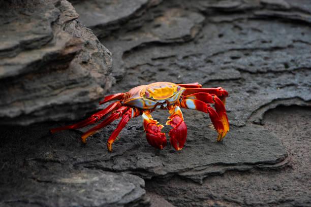 Sally Lightfoot crab at Fernandina island, Galapagos stock photo