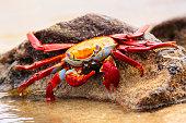 Sally lightfoot crab (Grapsus grapsus) feeding on Chinese Hat island, Galapagos National Park, Ecuador