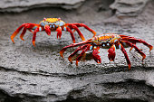 Sally lightfoot crab (Grapsus grapsus) on Santiago Island in Galapagos National Park, Ecuador