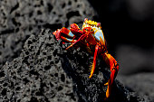 Sally Lightfoot Crab or Red Rock Crab (Grapsus grapsus) in Galapagos Islands, Ecuador