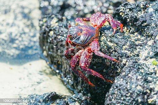 Zayapa Crab on Galapagos