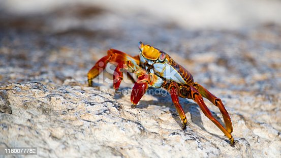 Sally lightfoot crab Grapsus grapsus on the South Plaza Island in the Galapagos Archipelago Pacific Ocean Ecuador