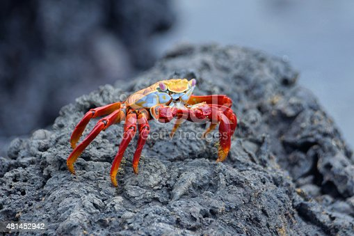 Names: Red rock crab, abuete negro, sally lightfoot crab