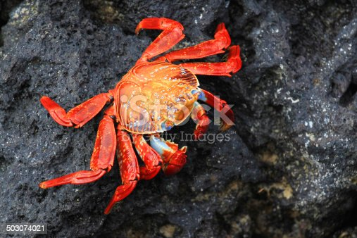 This beautifully colored crab is named the Sally Lightfoot Crab and is found on the Galapagos Islands.
